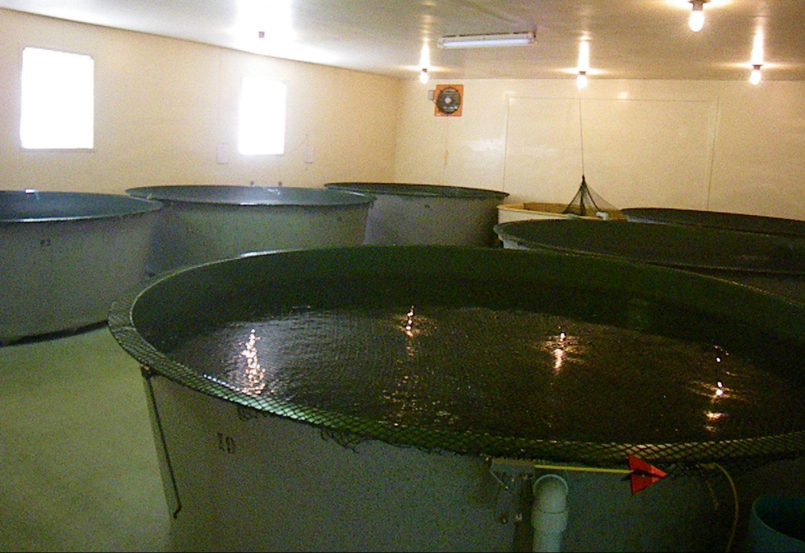 Production salmonicole