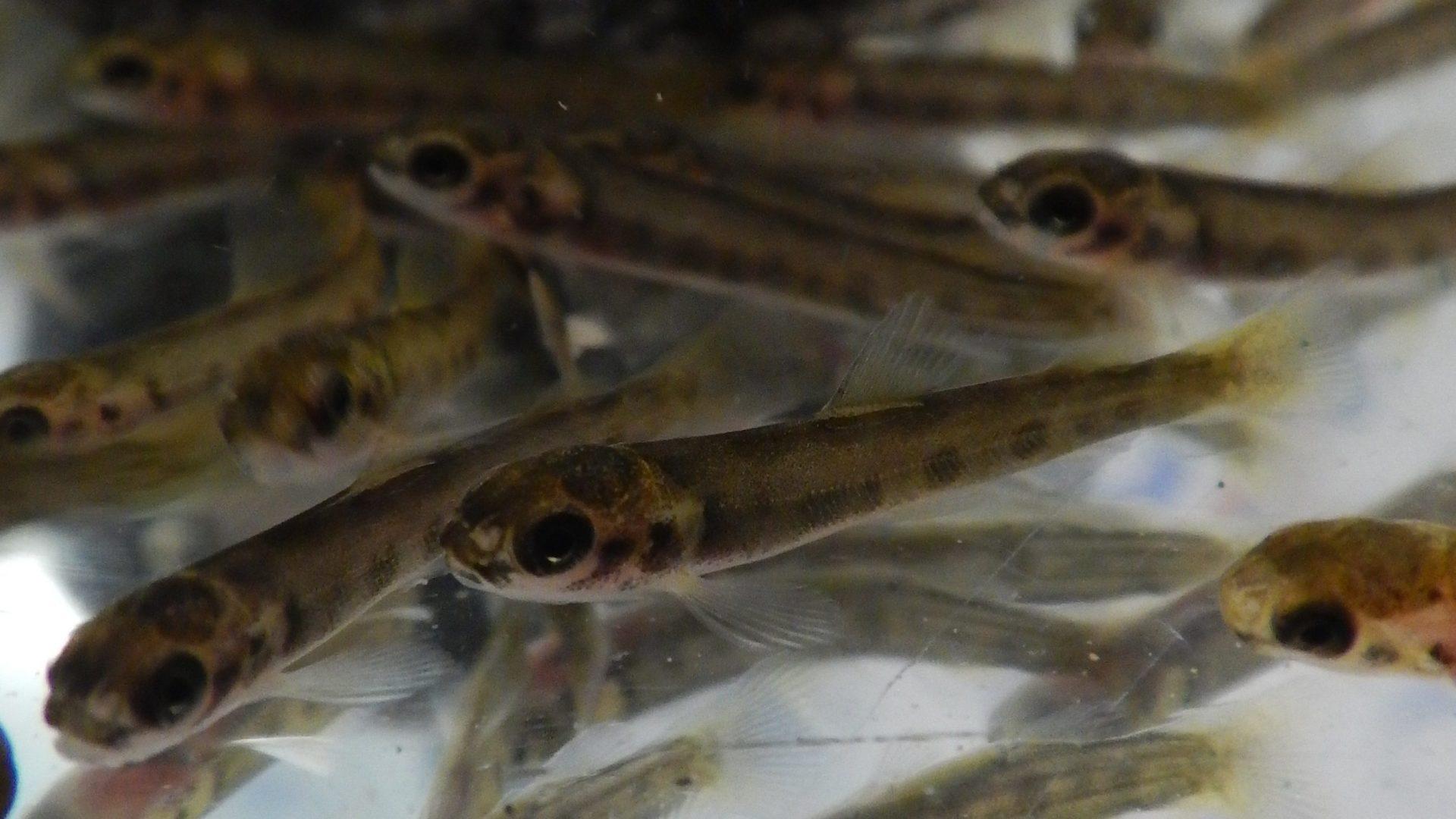 Programme de trousse éducative sur le saumon atlantique