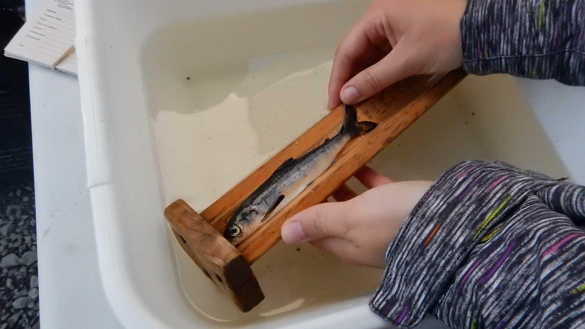 Étude sur le suivi des saumoneaux en dévalaison